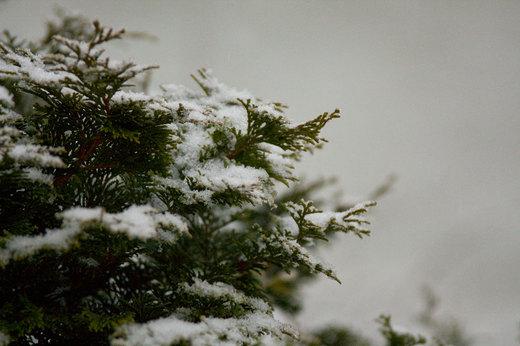 spruce-tree-with-snow.jpg
