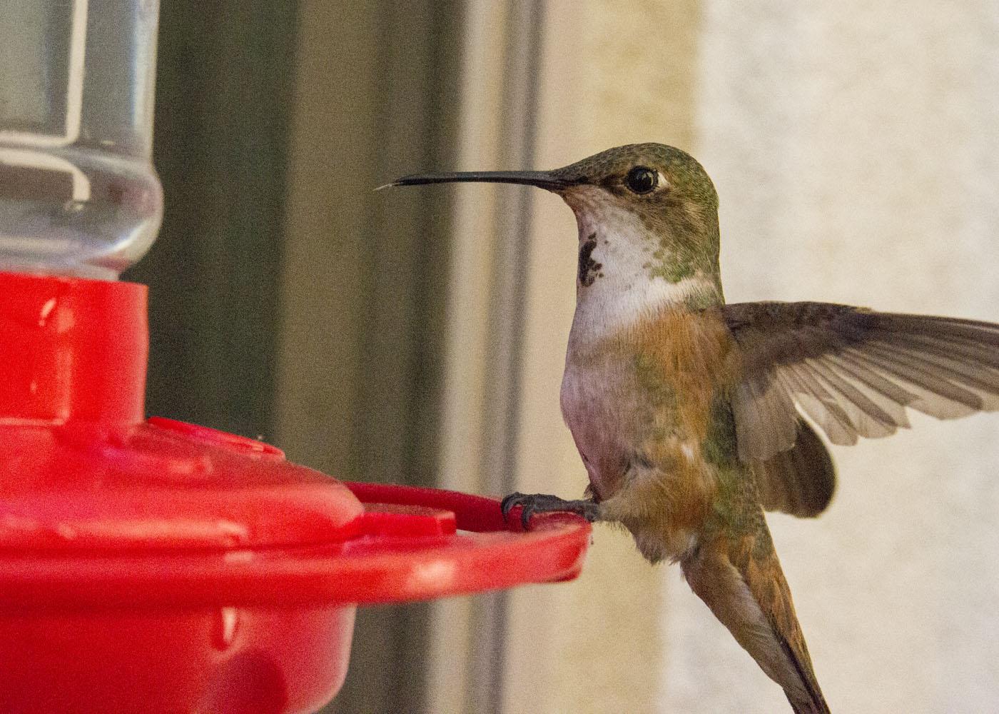 Hello Hummingbirds | Geoff Fox: My Permanent Record