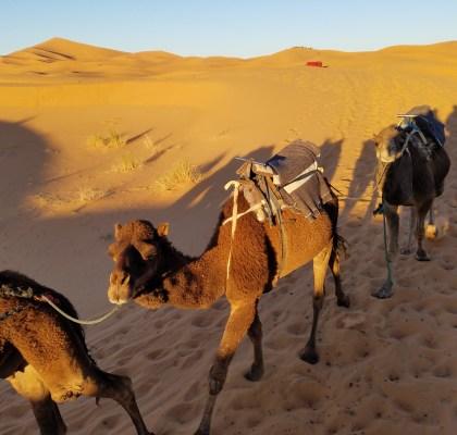 Merzouga Camels