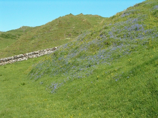 Bluebells on Luing