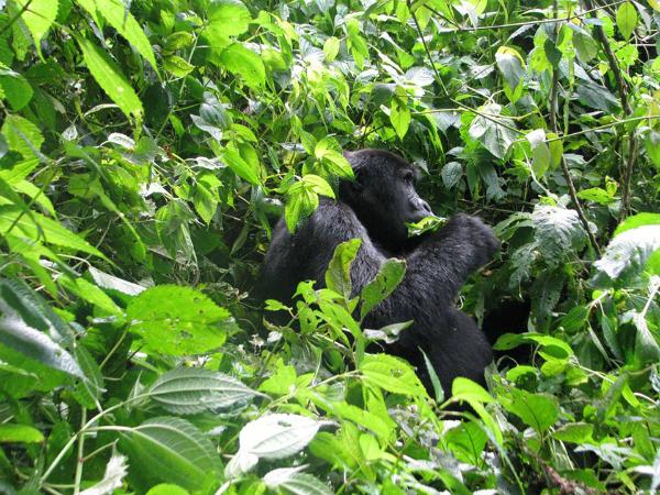 Gorilla Trek - Goril Turu Uganda