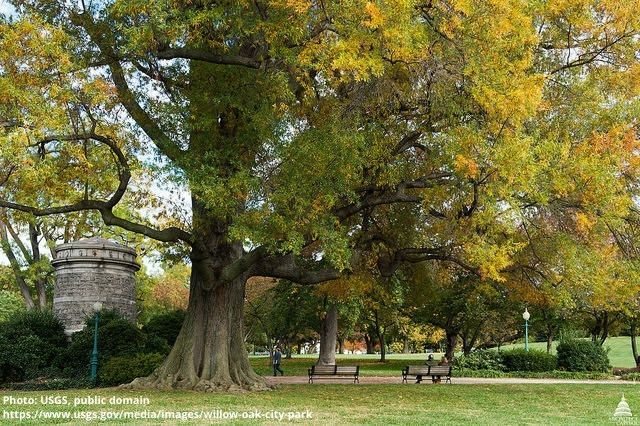 Willow Oak in City Park. Photo: USGS, public domain.
