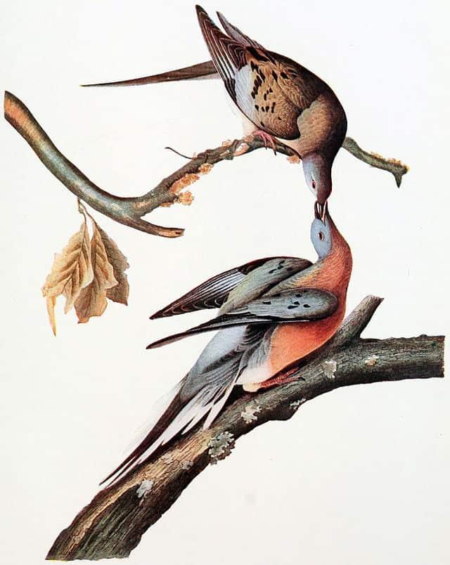 Female (upper bird) and male (lower bird) Passenger Pigeons. Reproduced from the John J. Audubon Plate