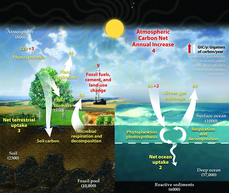 Representation of the contemporary global carbon cycle. Changes are measured in gigatons or carbon per year (GtC/y). Numbers in parentheses refer to stored carbon pools. Red indicates carbon from human emissions. Humans contribute a net increase of 4 GtC/y to atmospheric carbon. Source: US Department of Energy, 2008.