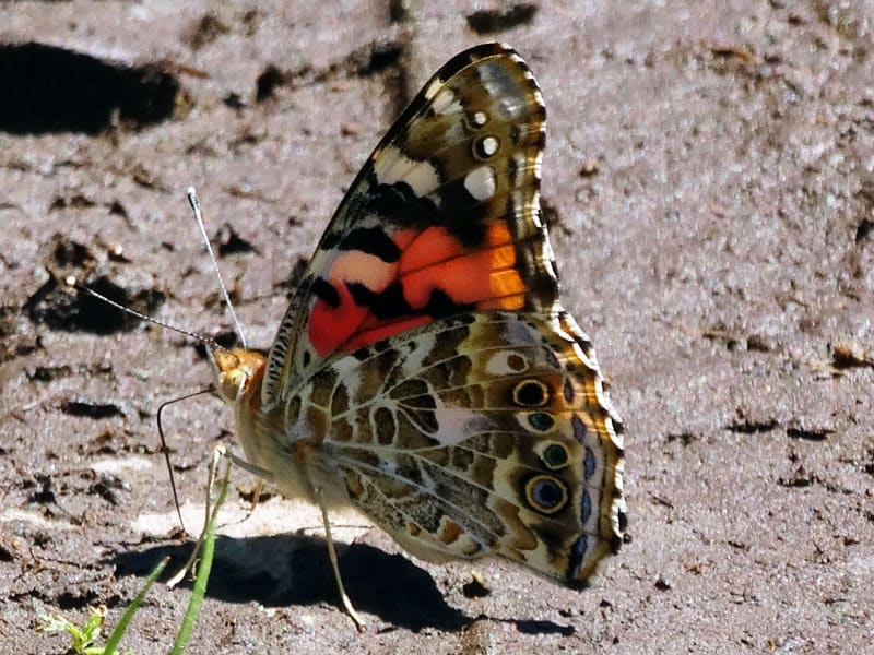 Painted lady (Vanessa cardui). Image: NPS, public domain.