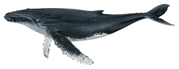 humpback-whale-3.png?fit=578,223&ssl=1