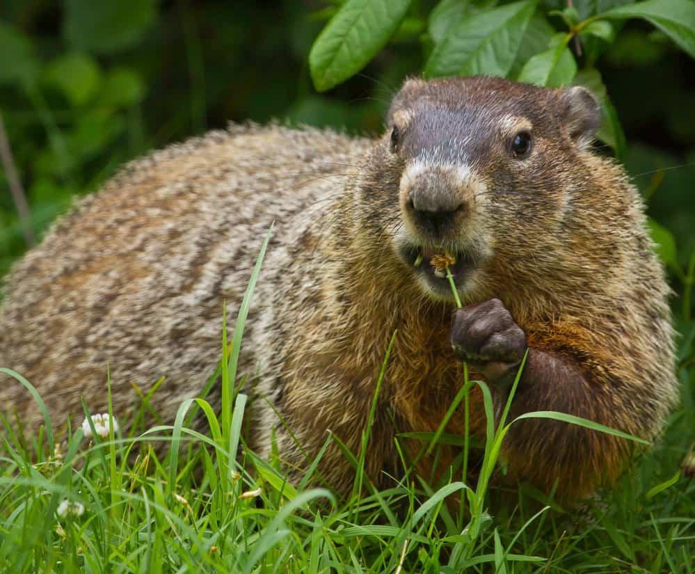 Groundhog. Photo: NPS, public domain.