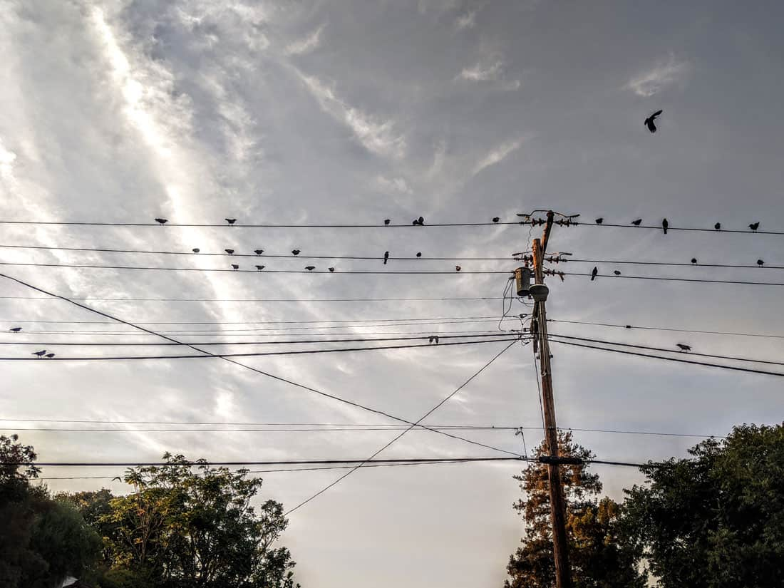 As the light of the day beings to weaken, crows start to gather near their roosting spots. Photo: Caitlin Dempsey