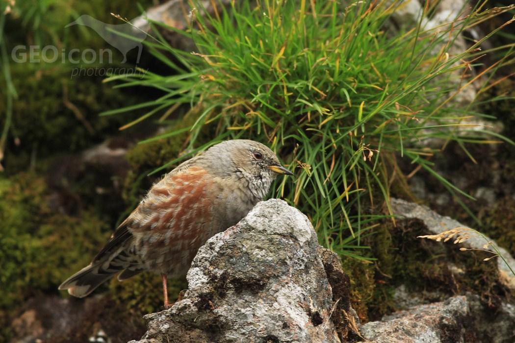 Alpine accentor / pěvuška podhorní (Prunella collaris)