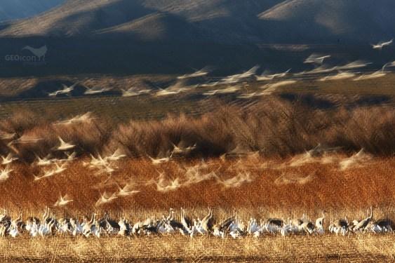 Sandhill crane / jeřáb kanadský (Antigone canadensis)
