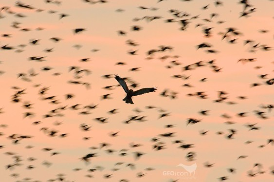A flock of Starlings and Marsh Harrier / hejno špačků obecných a moták pochop (Sturnus vulgaris, Circus aeruginosus)