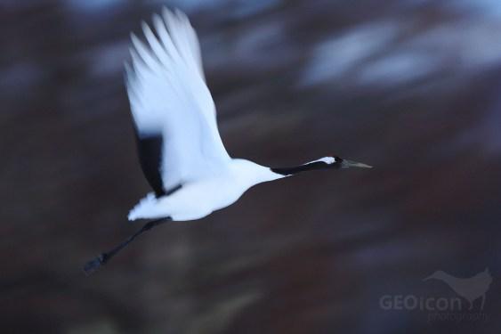 Red - crowned crane / jeřáb mandžuský (Grus japonensis)