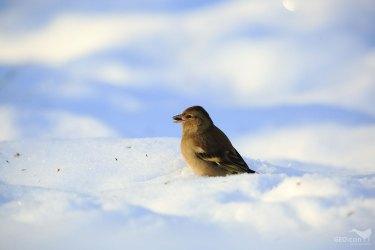 Chaffinch / pěnkava obecná (Fringilla coelebs)