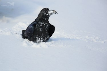 Common raven / krkavec velký (Corvus corax)
