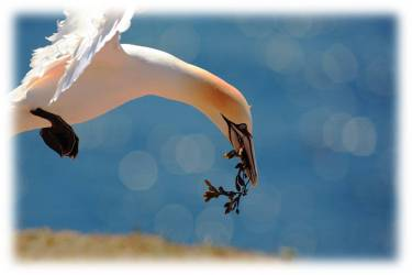 Gannet / terej bílý (Morus bassanus)