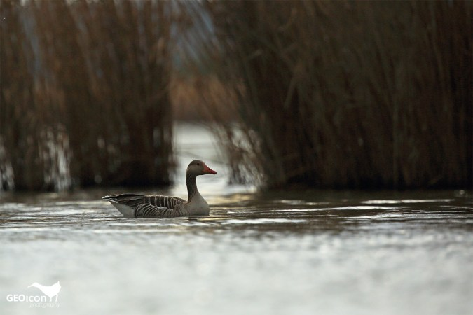 Greylag goose / husa velká (Anser anser)