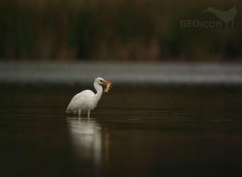 Great egret / volavka bílá (Egretta alba)