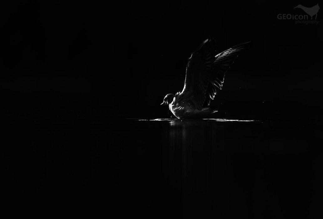 Black headed gull / racek chechtavý (Larus ridibundus)