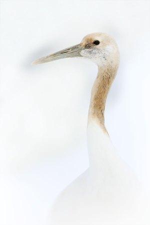 Red-crowned crane / jeřáb mandžuský (Grus japonensis)