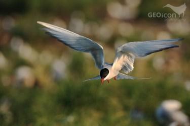Arctic tern / rybák dlouhoocasý (Sterna paradisaea)