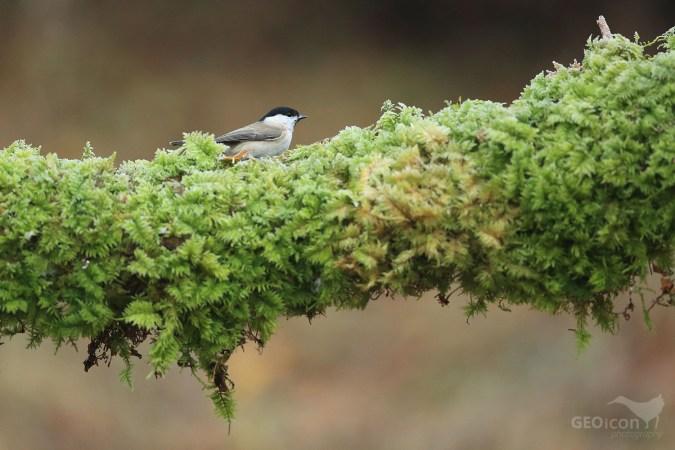 Marsh tit / sýkora babka (Parus palustris)