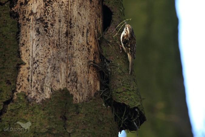 Short-toed treecreeper / šoupálek krátkoprstý (Certhia brachydactyla)