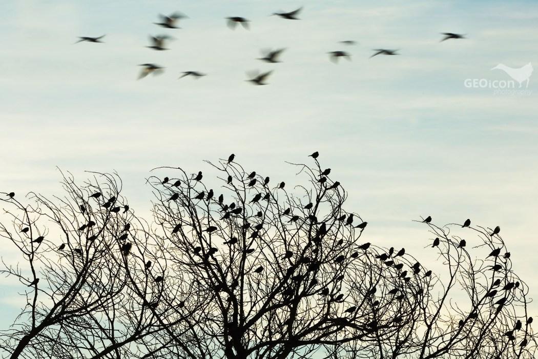 Red-winged blackbird / vlhovec červenokřídlý (Agelaius phoeniceus)
