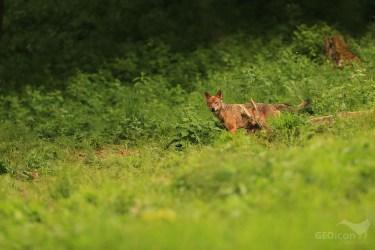 Volf / vlk obecný (Canis lupus)
