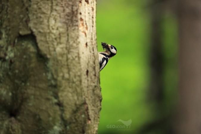 Great spotted woodpecker / strakapoud velký (Dendrocopos major)