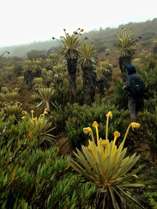 Frailejones, iconic of the páramo