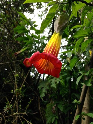 Angel's Trumpet - Don't eat it!