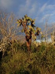 A strange cactus-tree, Opuntia echios