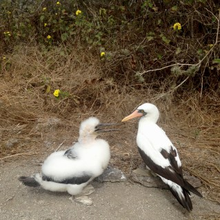 Nazca Booby and chick