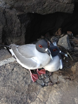 Swallowtail Gulls
