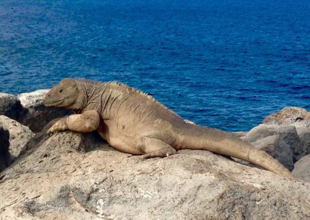 Santa Fe Land Iguana - the Galapagos' largest iguana species