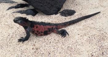 Notice the red coloring on this Española marine iguana