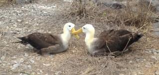 Waved albatrosses in courtship ritual