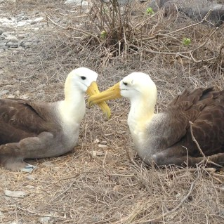 Waved albatrosses in courtship ritual