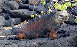 Marine Iguana on Santa Cruz