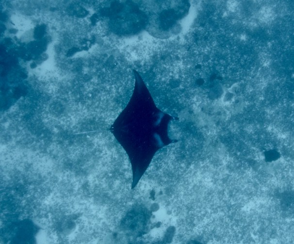 A manta ray. One of many seen that day.