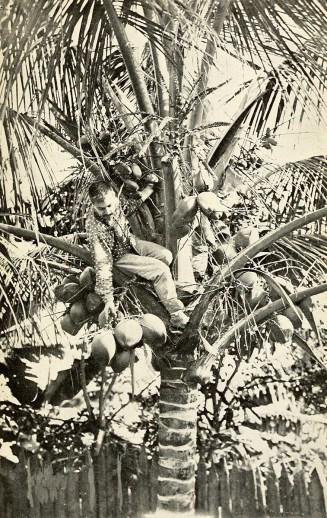 Gathering cocoanuts.