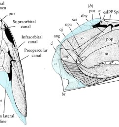 pectoral girdle in addition to the endochondral scapulocoracoid there is a series of paired dermal elements that couple the pectoral girdle and skull  [ 1749 x 963 Pixel ]
