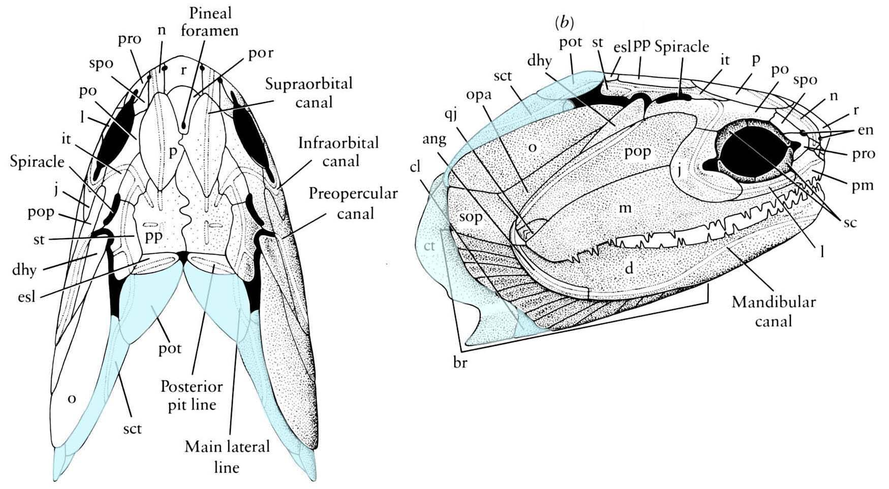 hight resolution of  pectoral girdle in addition to the endochondral scapulocoracoid there is a series of paired dermal elements that couple the pectoral girdle and skull