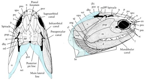 small resolution of  pectoral girdle in addition to the endochondral scapulocoracoid there is a series of paired dermal elements that couple the pectoral girdle and skull