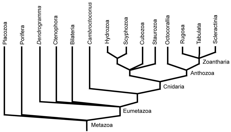 Eumetazoa
