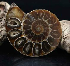 Ammonit med synliga kammare