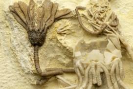 Fossila sjöliljar