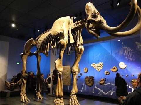 Komplett mammut skelett på museum
