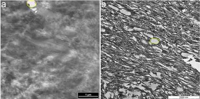 TEM micrographs of (a) ostrich claw sheath and (b) Citipati claw sheath. In both samples, parallel fibres can be seen running diagonally, and identical voids (yellow outlines) were observed among the fibres in both samples. Credit: Alison Moyer