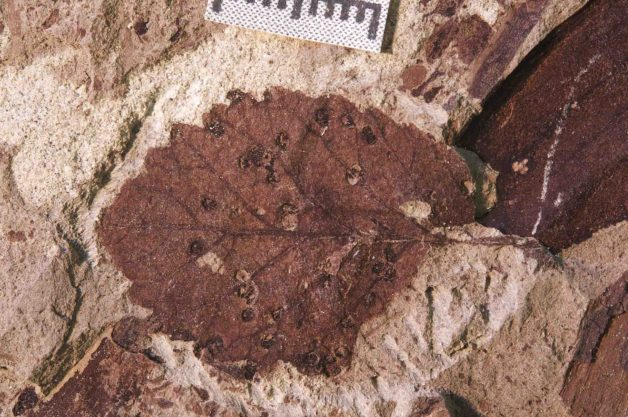 Insect galls on a fossil leaf from the latest Cretaceous Lefipán Formation (67-66 Ma) in Patagonia, Argentina. Credit: Michael Donovan/Penn State
